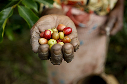 Coffee Pickers in Timor-Leste