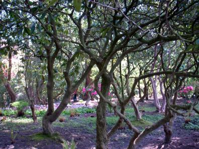 Trees at Rhododendron